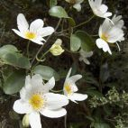 Bush Clematis white